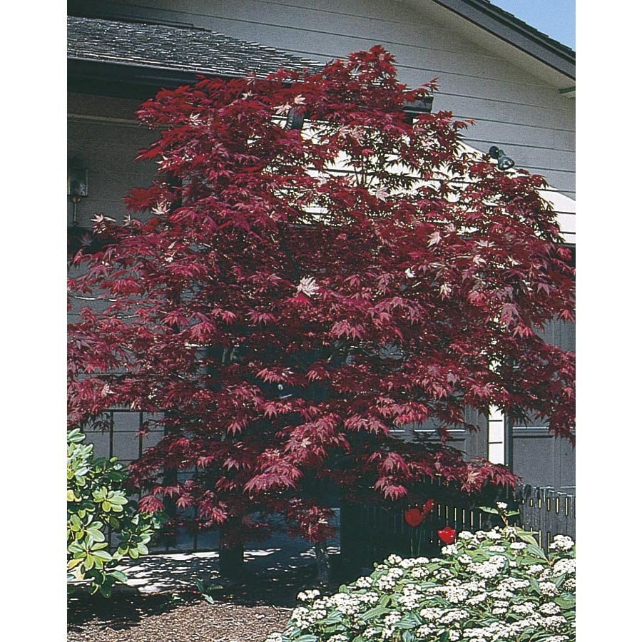 10.25-Gallon Assorted Upright Japanese Maple Feature Tree (L5413)