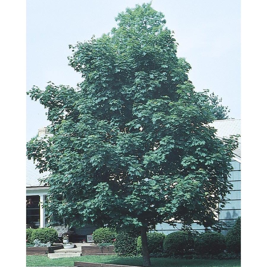 10.25-Gallon Emerald Queen Norway Maple Shade Tree (L1014)