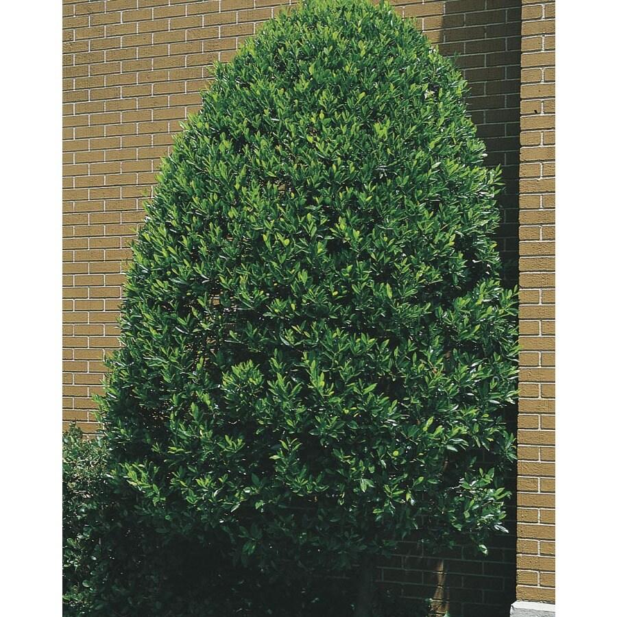10.25-Gallon White Compact Cherry Laurel Screening Shrub (L5132)