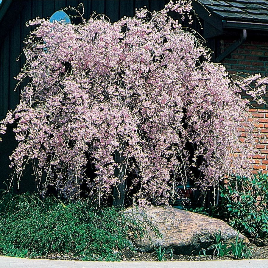 10.25-Gallon Double Flowering Weeping Cherry Feature Tree (L12029)