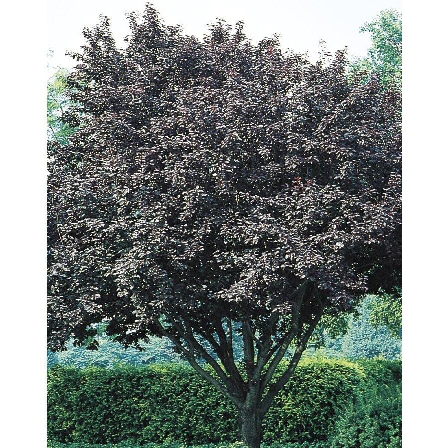 10.25-Gallon Flowering Plum Flowering Tree (L5986)