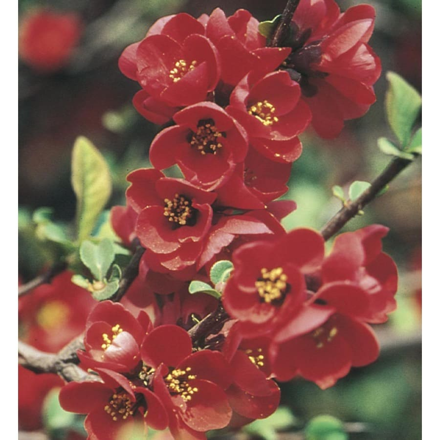 3.28-Gallon Red Flowering Quince Flowering Shrub (L4475)
