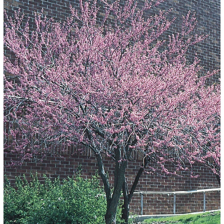 10.25-Gallon Redbud Flowering Tree (L11838)