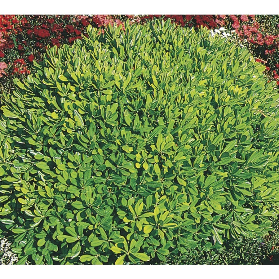 3-Gallon White Wheeler's Dwarf Pittosporum Foundation/Hedge Shrub (L14424)