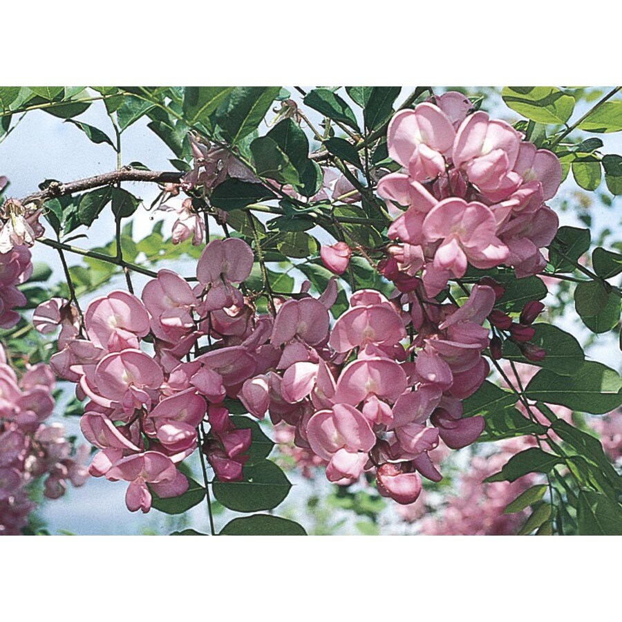 11.85-Gallon Purple Robe Locust Flowering Tree (LW01513)