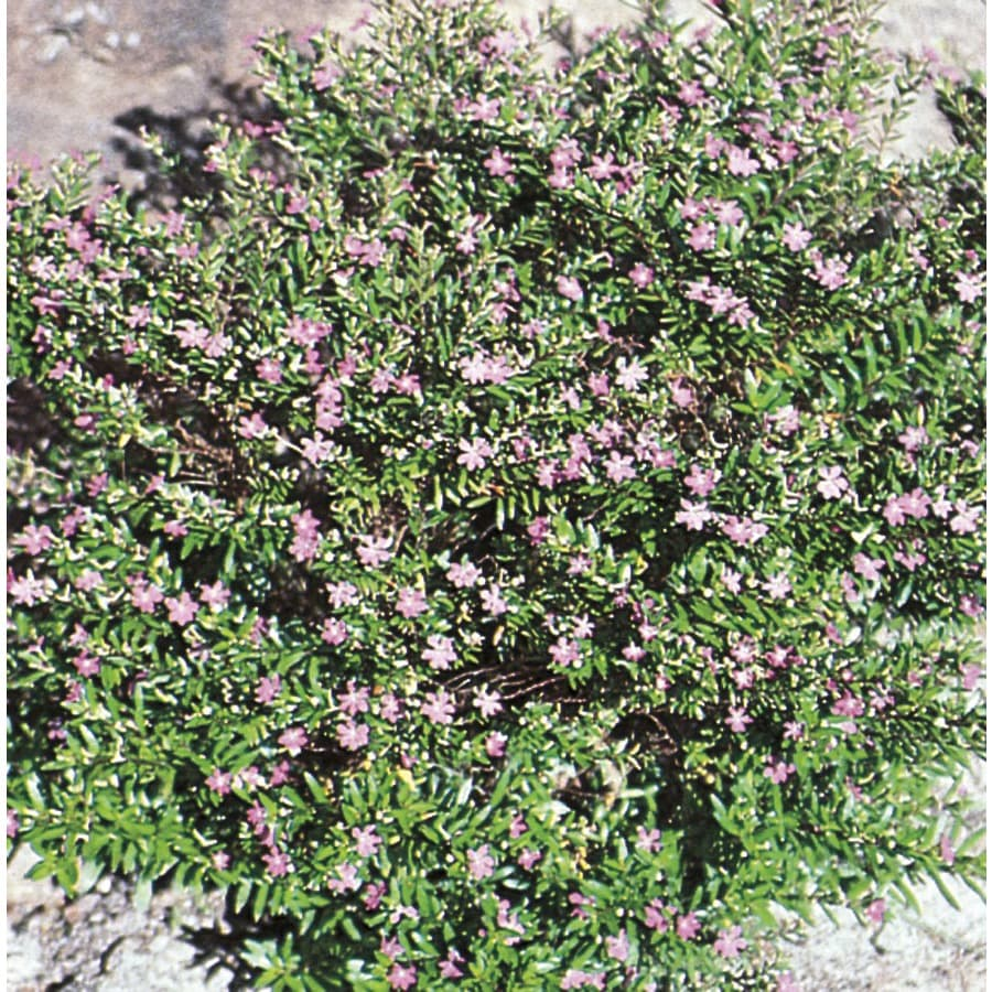 3-Gallon Mexican Heather (L7071)