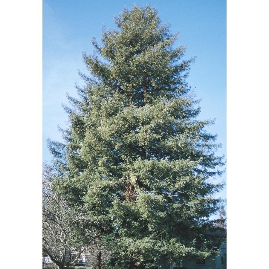 3.75-Gallon Coast Redwood Feature Tree (L23063)