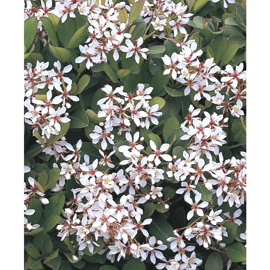 White Clara Indian Hawthorn Foundationhedge Shrub In Pot With Soil