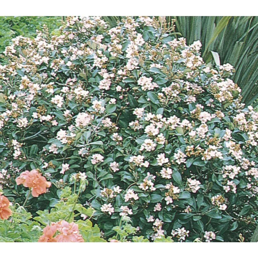 3-Gallon Pink Ballerina Indian Hawthorn Foundation/Hedge Shrub (L3916)
