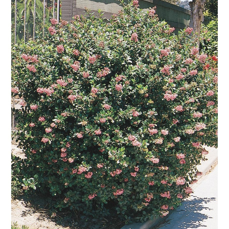 3-Gallon Pink Pink Princess Escallonia Flowering Shrub (L7508)