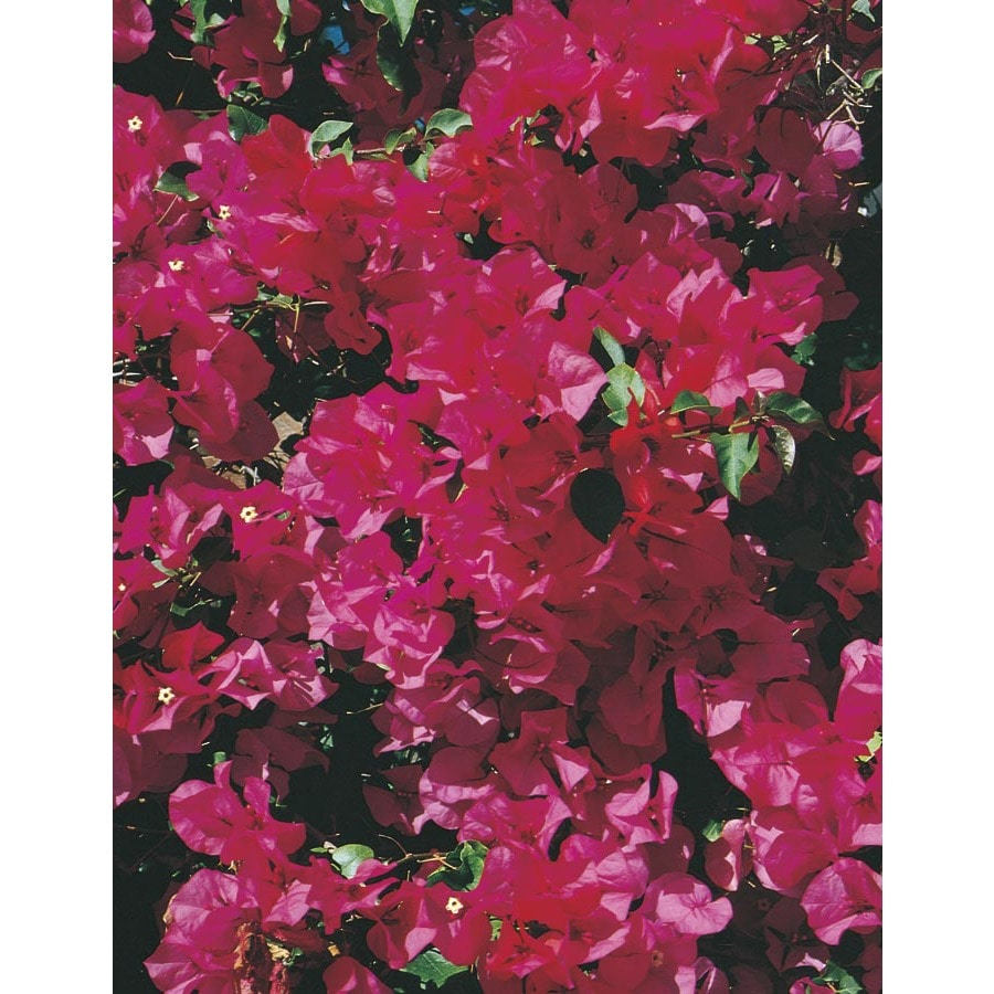 3-Gallon Red Barbara Karst Bougainvillea Flowering Shrub (L3144)