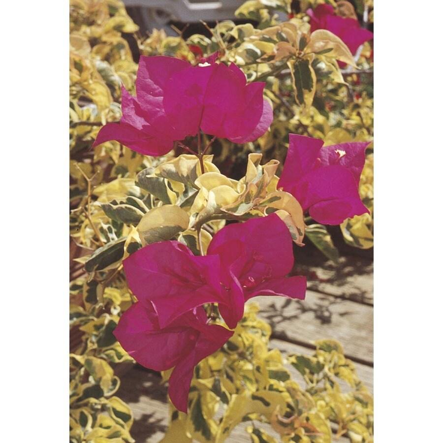 3-Gallon Red Raspberry Ice Bougainvillea Flowering Shrub (L3404)