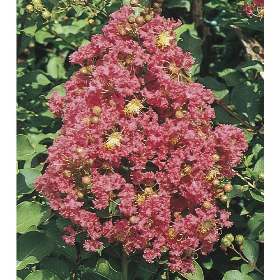 10.25-Gallon Pink Tuscarora Crape Myrtle Flowering Shrub (L1361)
