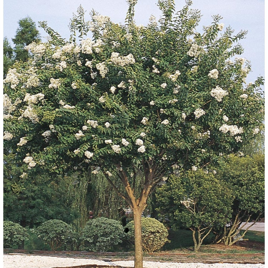 11.85-Gallon White Natchez Crape Myrtle Flowering Shrub (L1229)