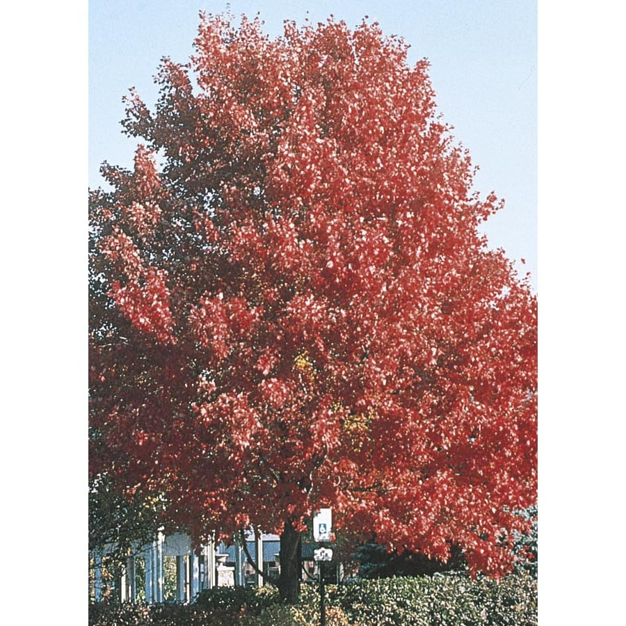 10.25-Gallon October Glory Maple Shade Tree (L3171)