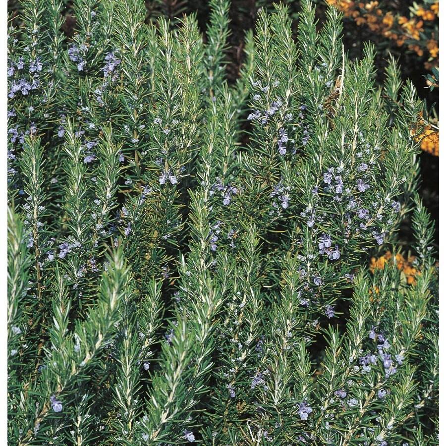 3-Gallon Blue Rosemary Accent Shrub (L7037)