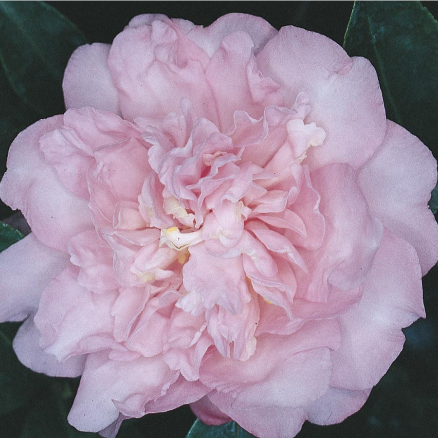 Shop 3 gallon pink debutante camellia flowering shrub l3149 at 3 gallon pink debutante camellia flowering shrub l3149 mightylinksfo