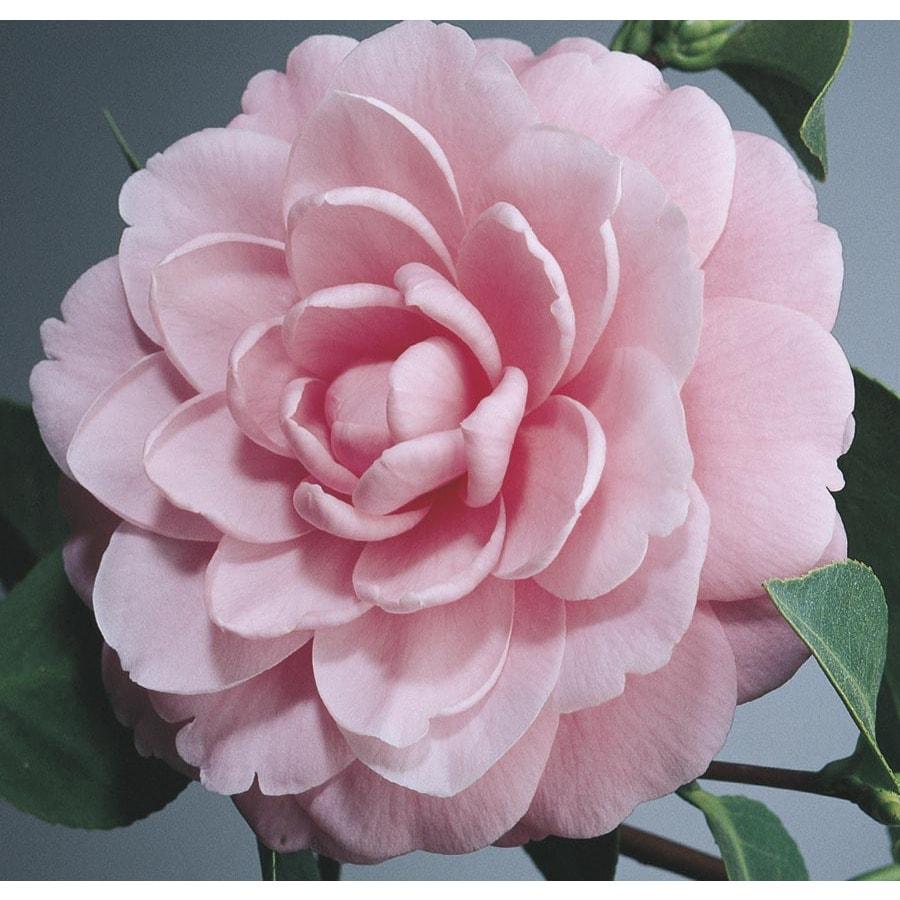 3-Gallon Pink Mrs. Tingley Camellia Flowering Shrub (L3382)