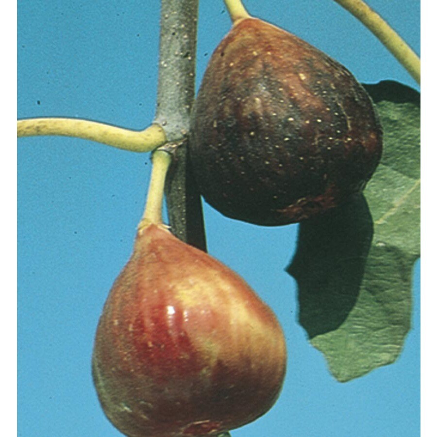 2.75-Gallon Fig Small Fruit (L5982)