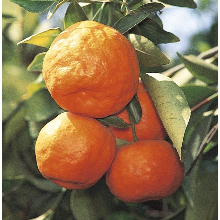 1-Gallon Satsuma Tangerine Tree (LW02828)