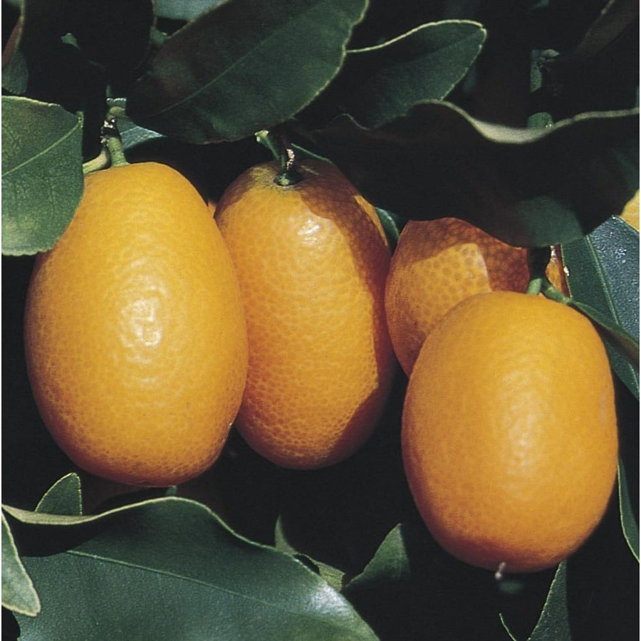 1-Gallon Kumquat Tree (L6099)