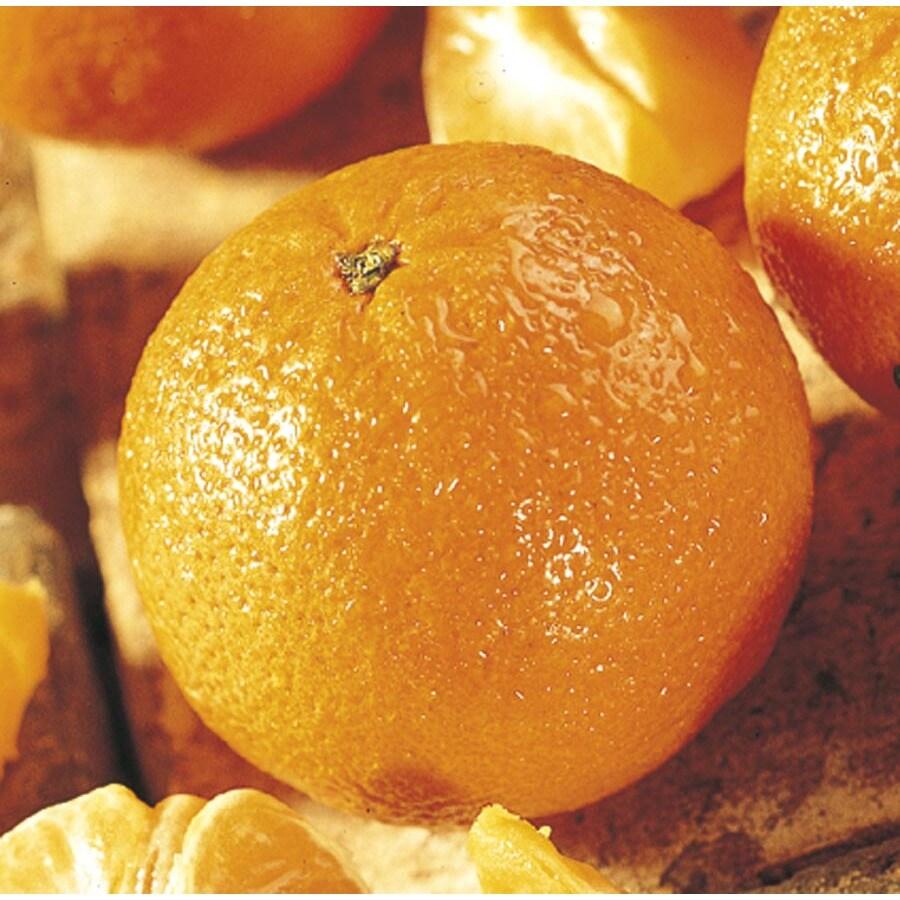 1-Gallon Mandarin Tree (L11379)