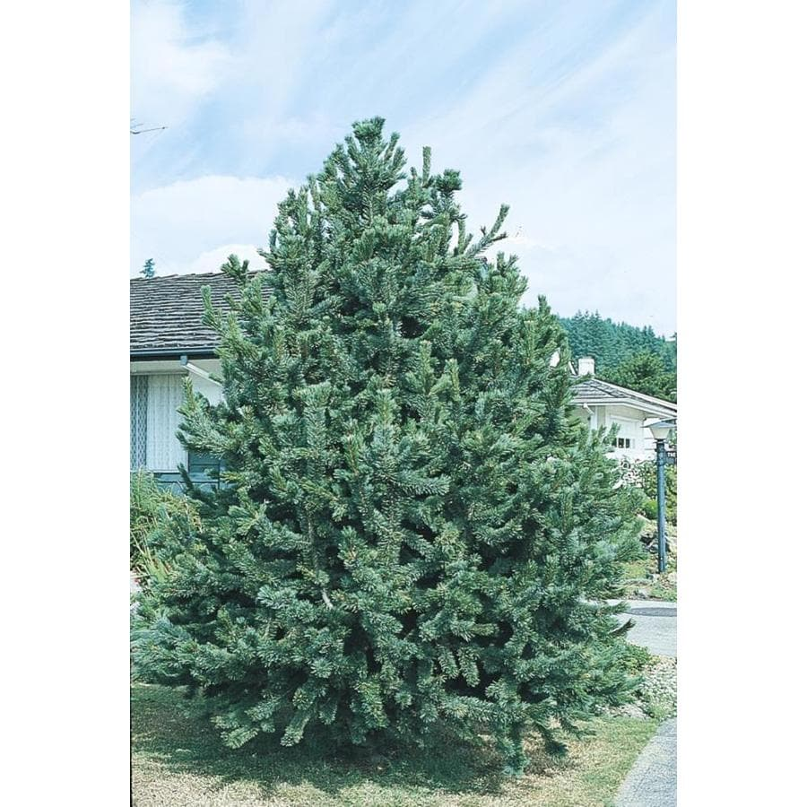 10.25-Gallon Bristlecone Pine Feature Tree (LW00255)