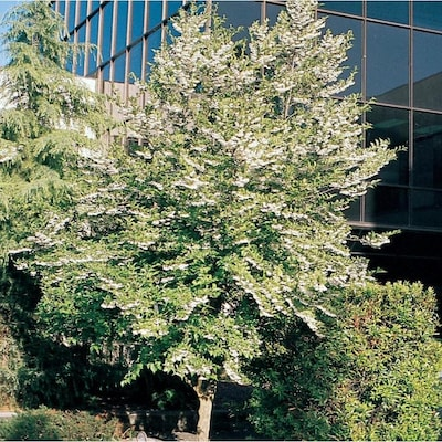 3 25 Gallon Japanese Snowbell Flowering Tree L14275 At Lowes Com