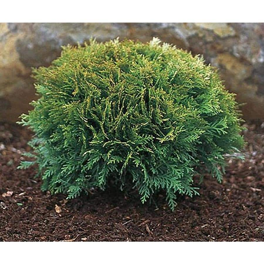 2.5-Quart Tom Thumb Eastern Arborvitae Feature Shrub (LW00267)