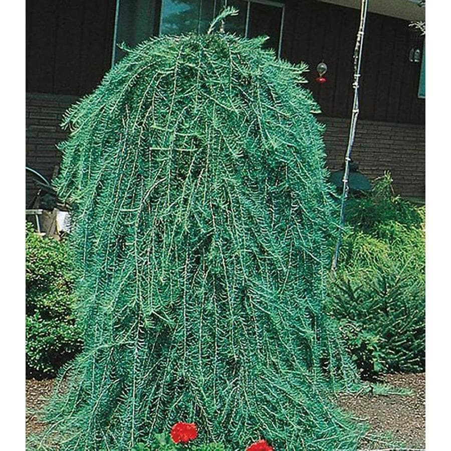 8.75-Gallon Weeping Larch Feature Tree (L17067)