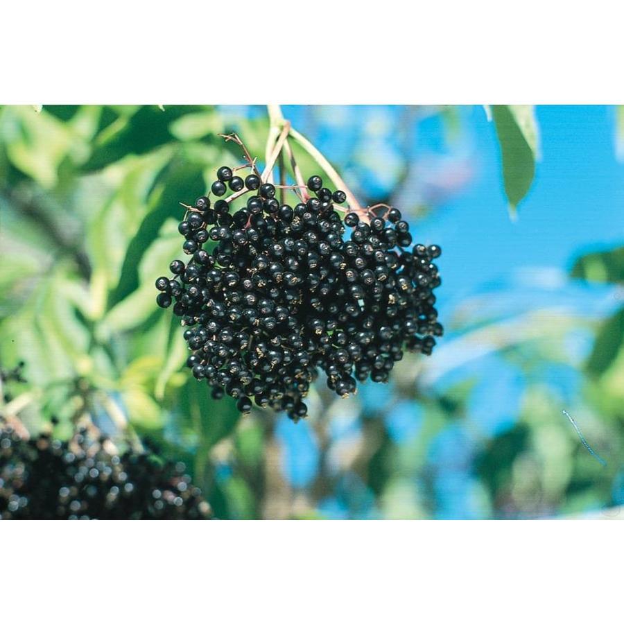 2.25-Gallon White Elderberry Accent Shrub (L11330)