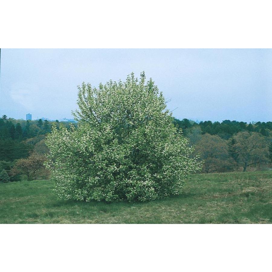 3.25-Gallon May Day Tree Shade Tree (L10487)