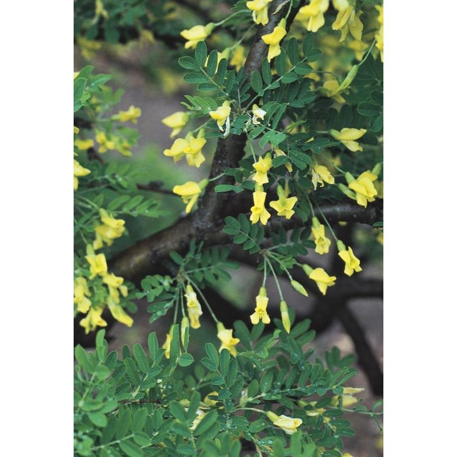 7-Gallon Siberian Peashrub Feature Tree (L17063)