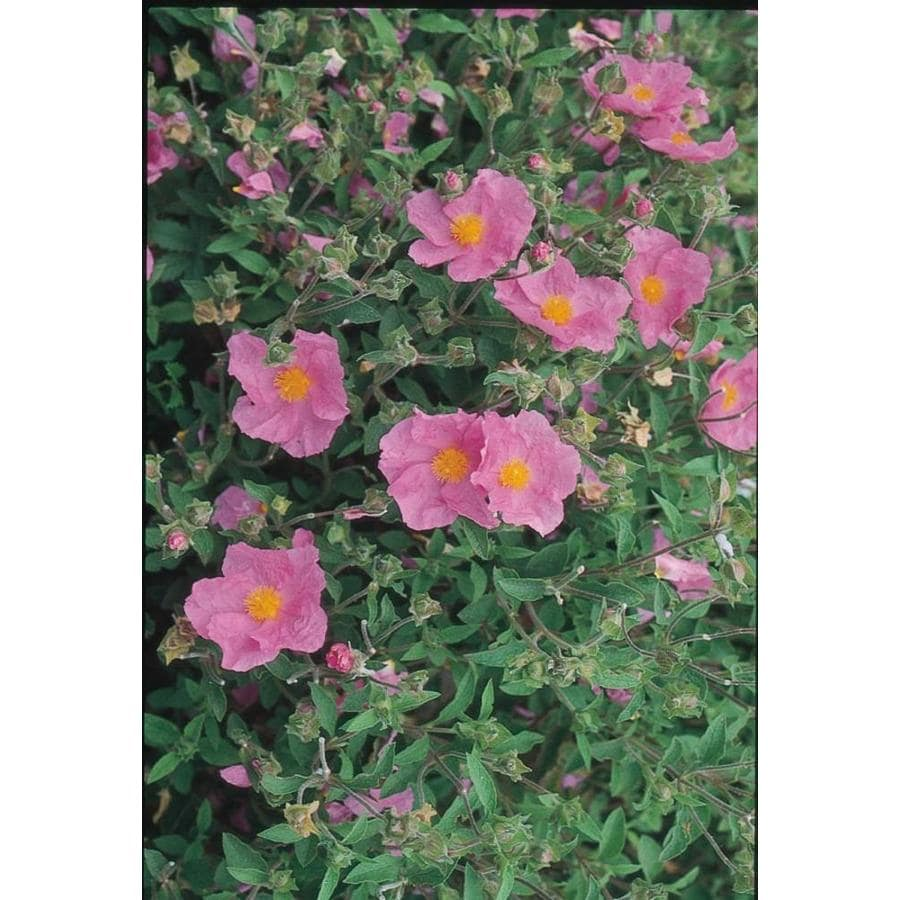 2.25-Gallon Pink Rock Rose Accent Shrub (L2450)