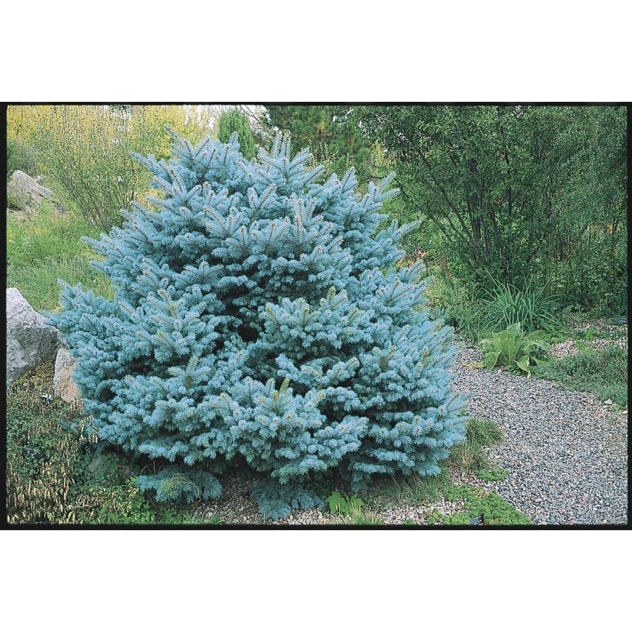 8.75-Gallon Colorado Blue Spruce Globe Feature Tree (L14441)