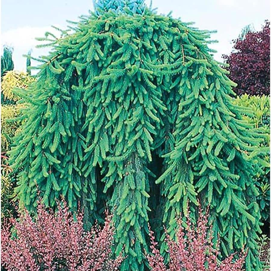 1-Gallon Weeping Norway Spruce Feature Shrub (L4097)
