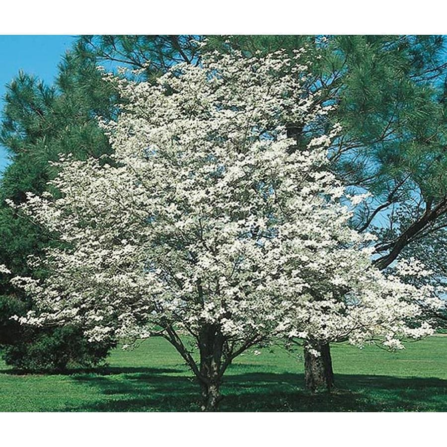 3.25-Gallon White Dogwood Flowering Tree (L1053)