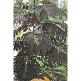 3 25 Gallon Pink Summer Chocolate Mimosa Flowering Tree In Pot With Soil