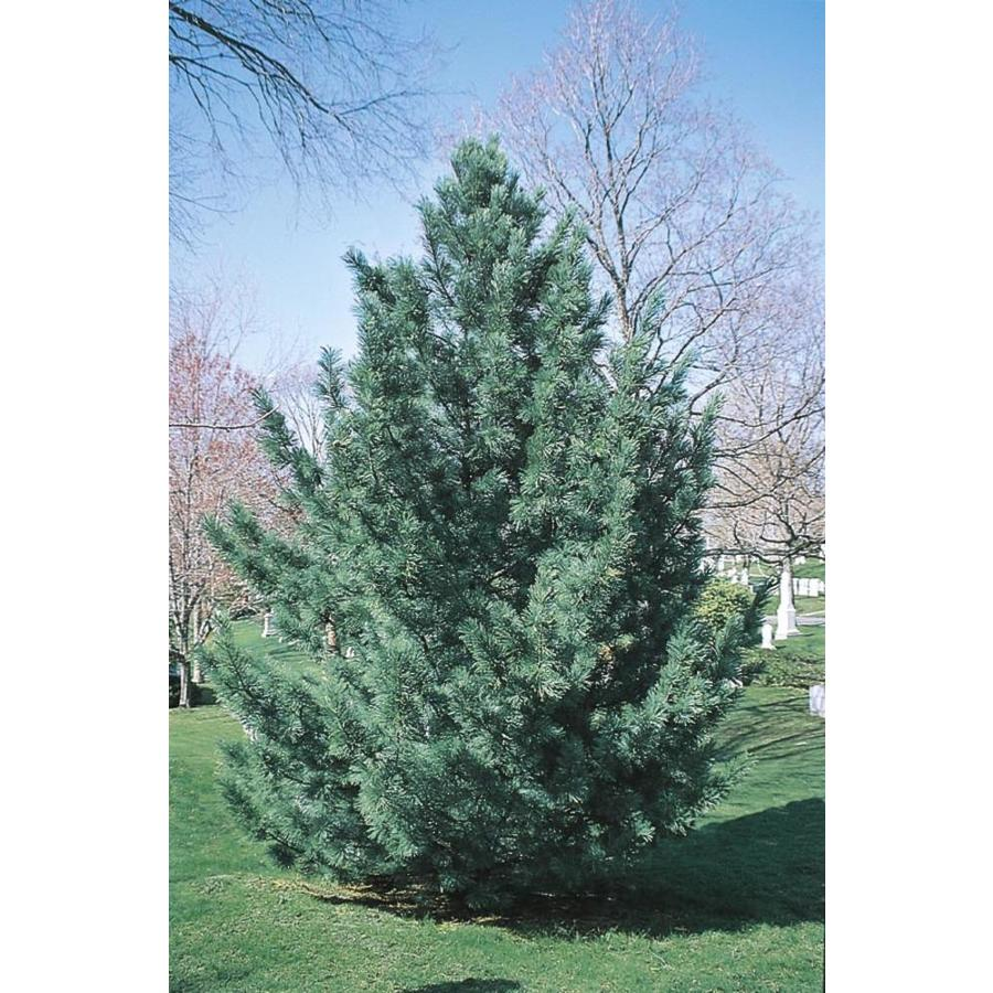 10.25-Gallon Vanderwulf's Pyramid Limber Pine Feature Tree (L6874)