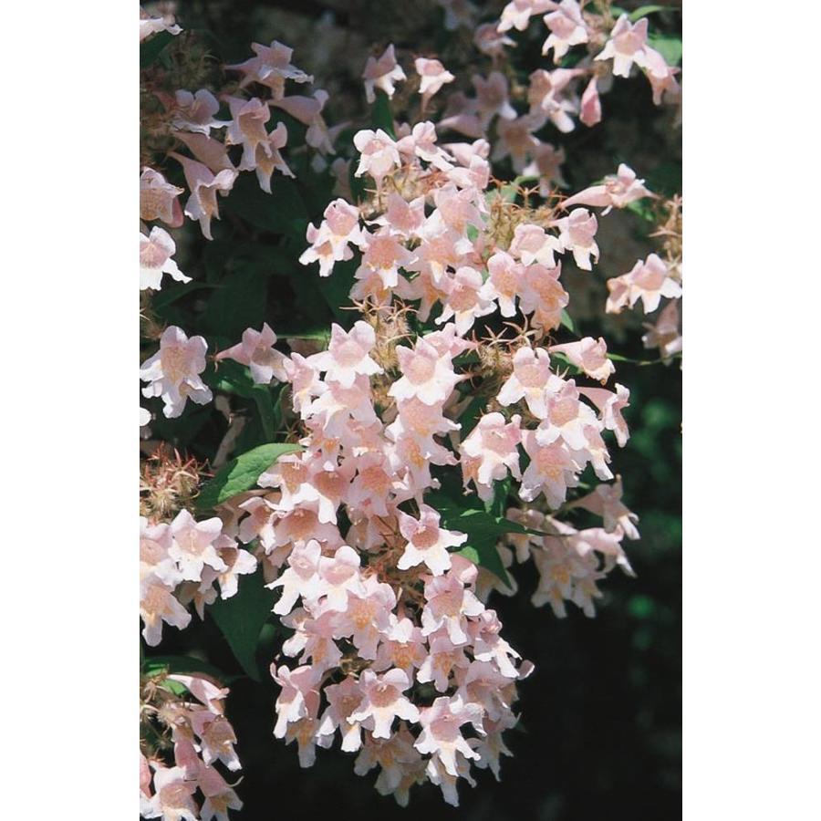 Shop 225 Gallon Pink Beautybush Flowering Shrub L4739 At Lowes