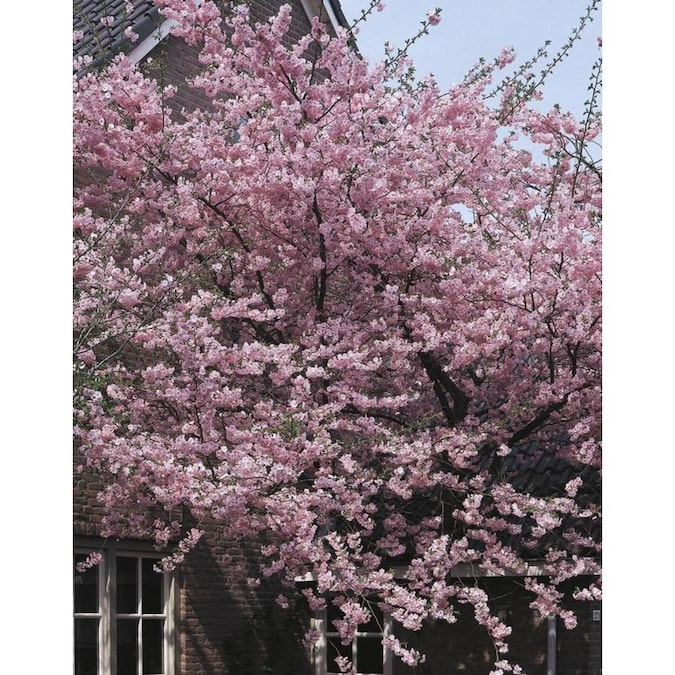 5.5-Gallon Pink Kwanzan Cherry Flowering Tree in Pot (With ...