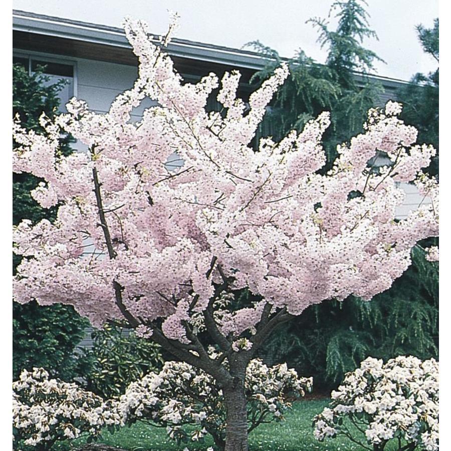5.5-Gallon Yoshino Flowering Cherry Flowering Tree (L3234)
