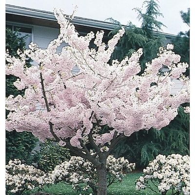 5 5 Gallon Multicolor Yoshino Flowering Cherry Flowering Tree In Pot L3234 In The Trees Department At Lowes Com