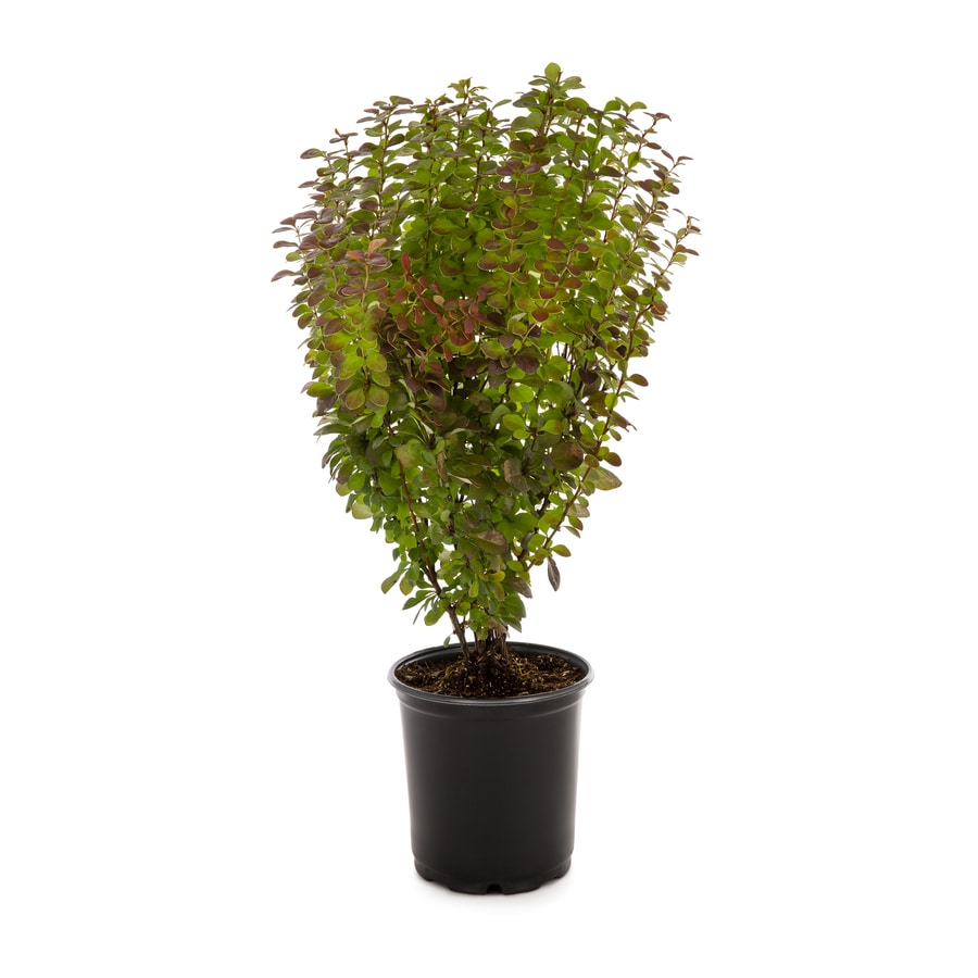 1-Gallon Orange Rocket Barberry Accent Shrub (L23770)