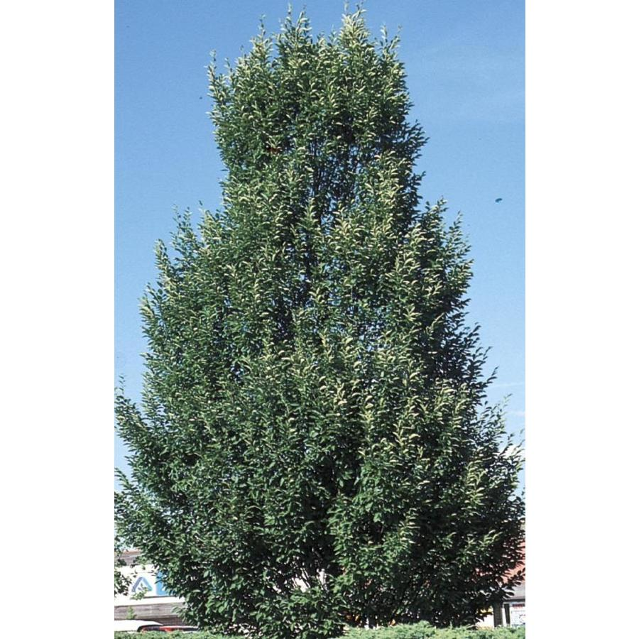 12.33-Gallon Columnar European Hornbeam Shade Tree (L14170)
