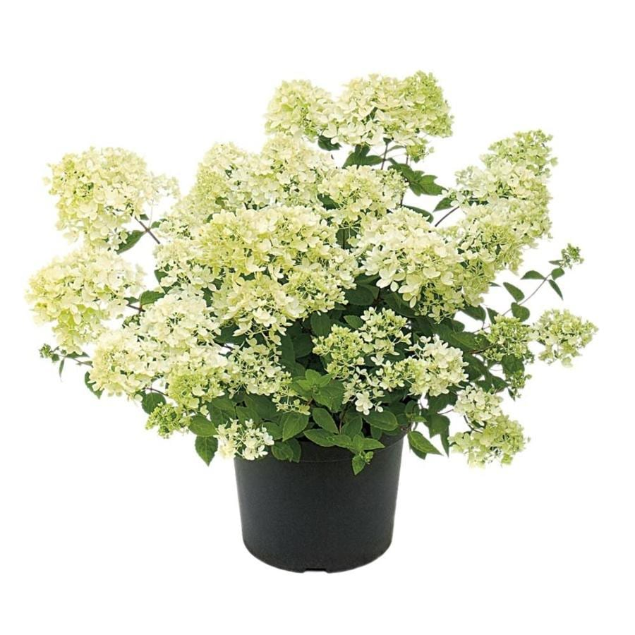 1 Gallon White Bombshell Hydrangea Flowering Shrub (L23398)