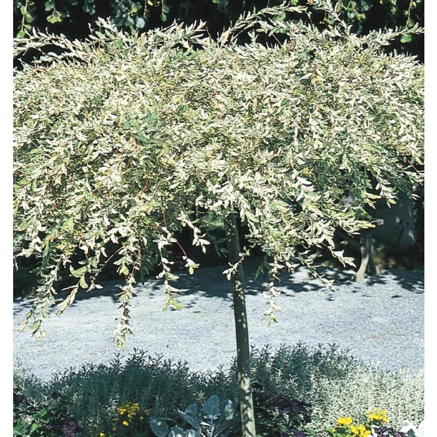 Shop 3.58-Gallon Dappled Willow Tree Feature Tree (L11651) at ...
