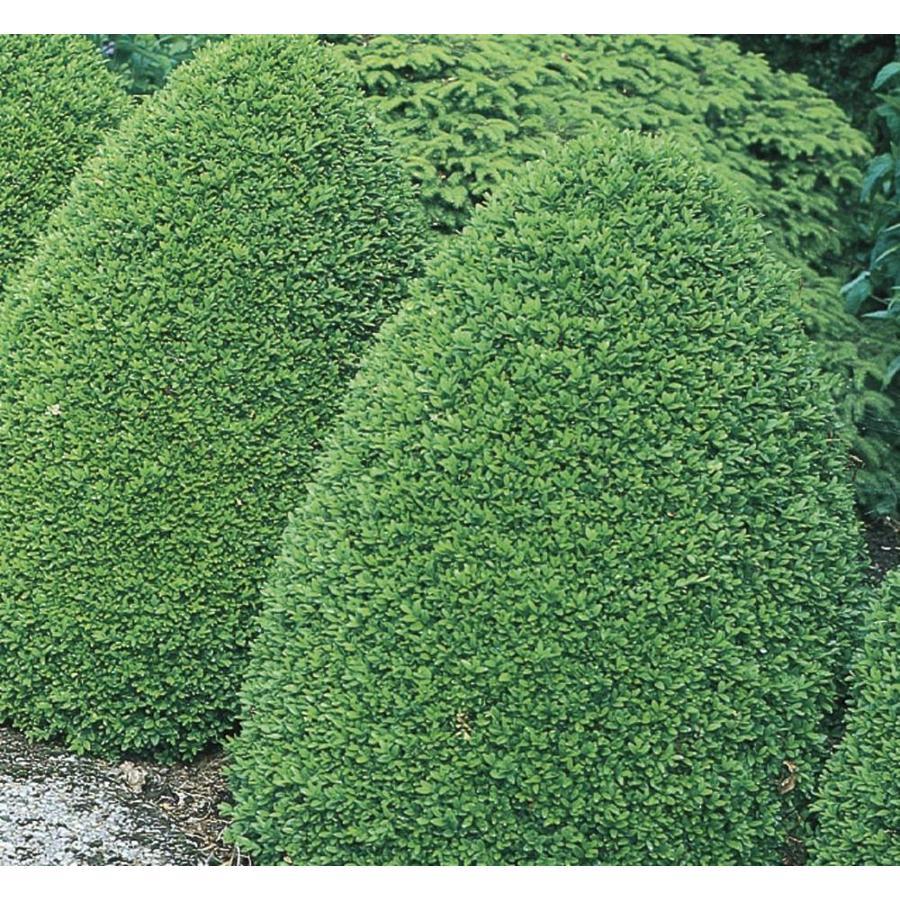 1.74-Gallon Common Boxwood Foundation/Hedge Shrub (L2572)