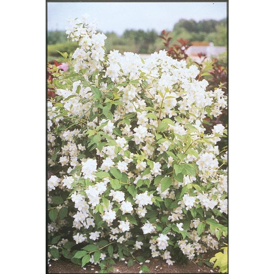 1.74-Gallon Nanking Flowering Cherry Flowering Tree (L10757)