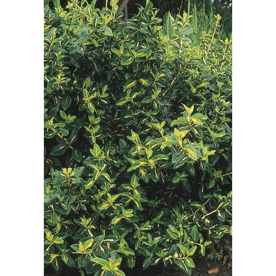 1.74-Gallon Moonshadow Euonymus Accent Shrub (L7692)